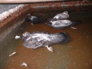 Dead birds in water tank